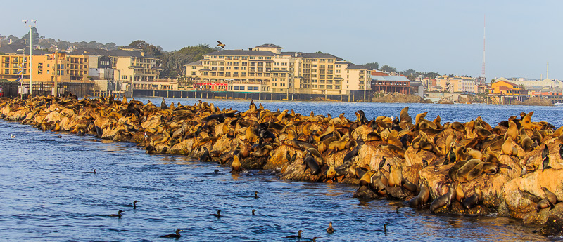Seals on a pier in Monterey California