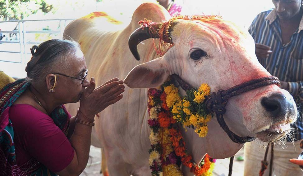 Benefits of Cow Urine and Panchgavya
